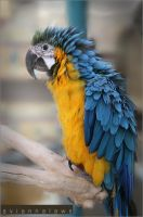 Macaw by apologeticsuicide