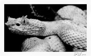 Eyelash Pit Viper ( Pencil Work ) by enigmatic-freak