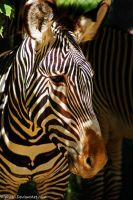 Zebra beauty by Riphath