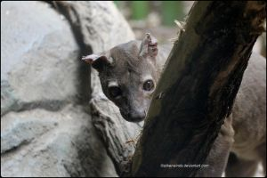 Hide And Seek With Fossa by SilkenWinds