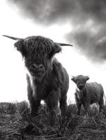 Highland cattle by mahomo