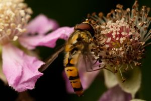 Hoverfly lunch by adambrowning