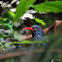 Yoohoo, Woodhoopoe by meihua