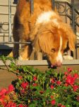 Fetcher in the Flowers by Alice-Ivory