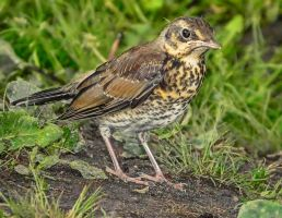 Song Thrush - young by miirex