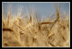 located in the barley field by declaudi
