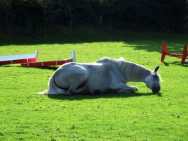 Misty Lying Down by EquinePhotoandStock