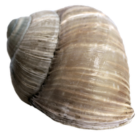 Stock Snail Shell 2 PNG by E-DinaPhotoArt