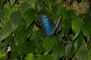 Blue Morpho and friend by PatGoltz