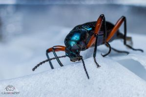 Red Blue Beetle by Anrico