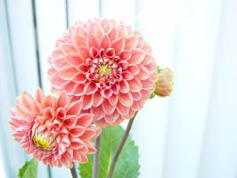 Dahlia plant by Blinded-Stock