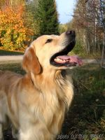Golden Retriever by Kuutulensudet