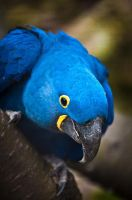 Hyacinth Macaw by amrodel