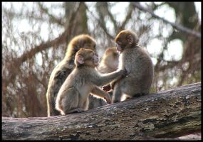Young Barbary Macaque Monkeys Playing by mikewilson83