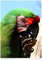 Great Green Macaw by In-the-picture