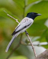 Asian Paradise Flycatcher by garion