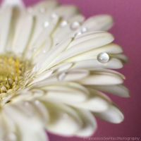 White Gerbera with drops by FrancescaDelfino