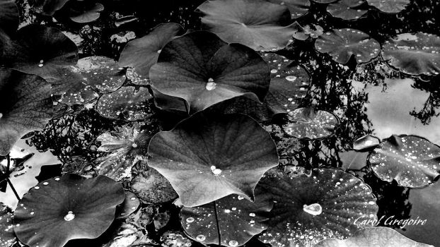 Lily Pads by carolgregoire
