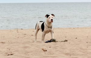 Sado - Pitbull puppy - on Lake Huron by elvaniel