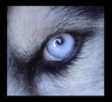 Husky Blue Eye by Oblique-and-Mysitque