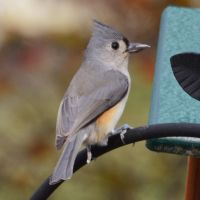Tufted Titmouse II by Brooklyn47