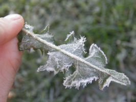 Frosted dandelion leaf by NepinRith