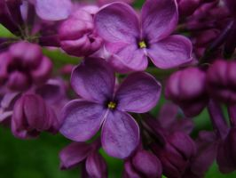 Purple lilac 1 by Panopticon-Stock