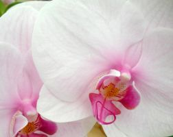 White orchid duo by fosspathei