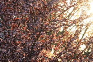 Sun Sets on Blossoms by McDonkm