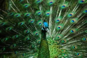 Green Peafowl by Yenneferx