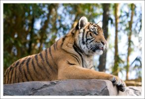 Tiger - 667 by eight-eight