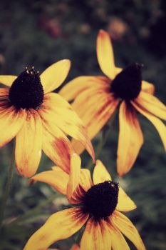 Black Eyed Susans by TheLewneybin
