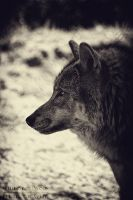 -- Memories From A Wolf -- by WhiteSpiritWolf