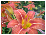 Tiger Lilies by captg