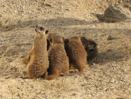 Stock - Meercats 4 by ladykraut