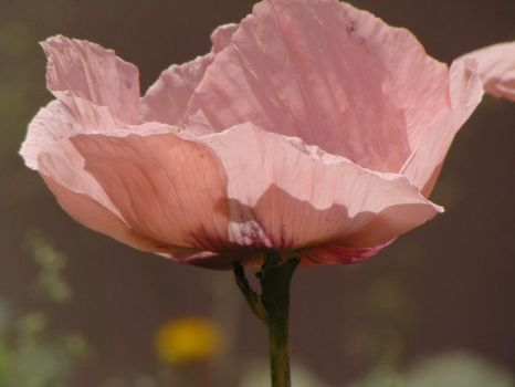 Pale Pink Poppies 001 by amethystmstock
