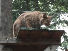 Bobcat eating a rat by OhioErieCanalGirl