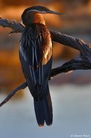 African Darter - 2 by NagWolf