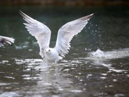 Seagull by Rollwurst