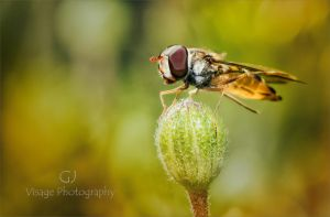 Hoverfly by GJ-Vernon
