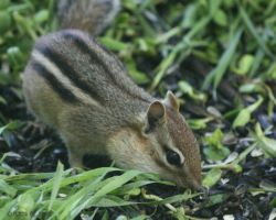 Chipmunk 2 by Momma-Cat