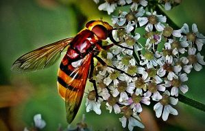 Hoverfly on wild flower by April-Mo