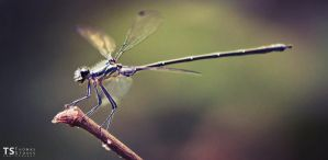 Dragonfly 1 by Tom-Stokes