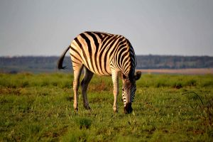 Zebra 2 by At0micDrag0n