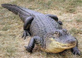 American Alligator Stock by TalkStock
