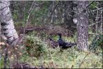 Black grouse by Ryoo-09