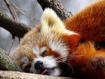 red panda by Olessa