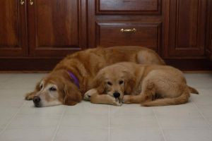 My Goldens... by CoolCurry