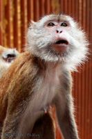 Macaque Monkey by OCMay