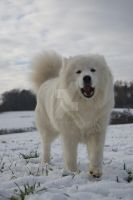 My only love samoyed Kaja by Hututa